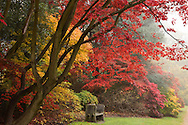 Autumn foliage on an acer tree in the Valley Gardens, Surrey, UK