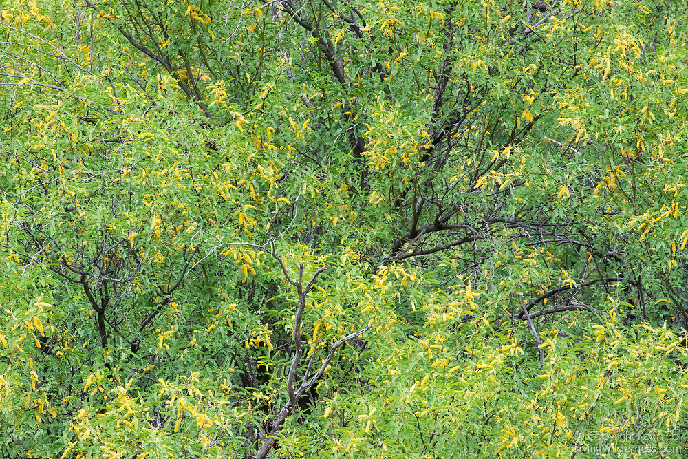 The bright yellow pods of velvet mesquite (Prosopis velutina) trees stand out against the green leaves in the early spring in the Boyce Thompson Arboretum, located in the Sonoran Desert near Superior, Arizona.