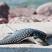 A fishman using a hand line pulled up this spotted eagle ray, in Puerto Vallarta, Mexico on Nov. 24, 2010.  (Photo/William Byrne Drumm)