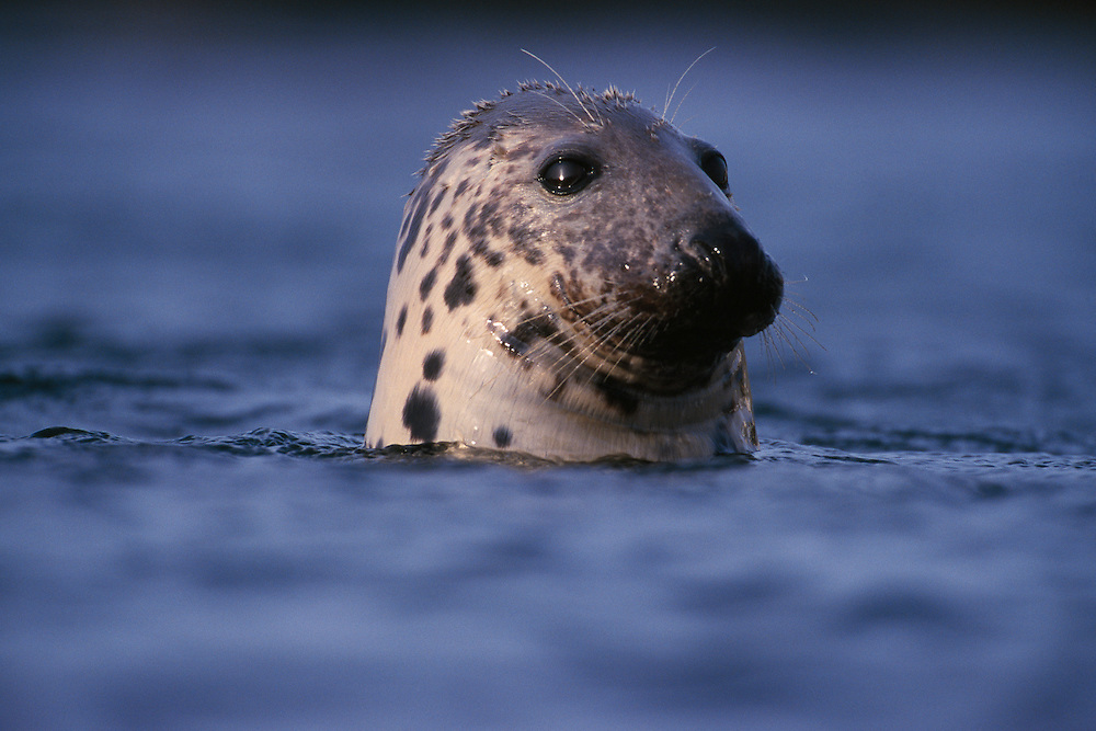 Bull Atlantic grey seal ÒbottlingÓ