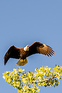 Bald Eagle, (Haliaeetus leucocephalus), landing in nest, Yellowstone River, east of Fairview Montana, near its confluence with the Missouri