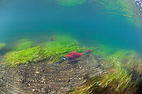 Sockeye Salmon on their spawning beds...Pegati Lake, Headwaters of the Kanektok River..shot in Alaska, USA..