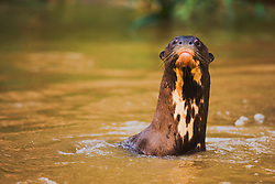 A giant river otter ( Pteronura brasiliensis) stretched out of the water and gives eye contact at close range, Mato Grosso, Pantanal, Brazil,South America