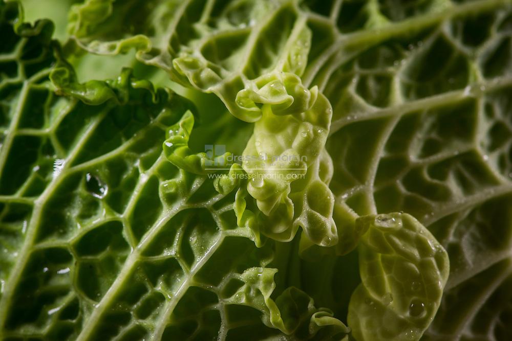 lettuce vegetables for exhibits very hi res