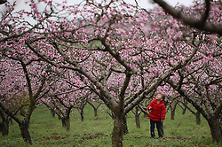 A child visits a peach blossom garden in Longxi Town, Zunyi City of southwest China's Guizhou Province, March 13, 2016. Spring scenery attracts visitors as the temperature climbs up across China. EXPA Pictures © 2016, PhotoCredit: EXPA/ Photoshot/ Huang Xiaohai<br /> <br /> *****ATTENTION - for AUT, SLO, CRO, SRB, BIH, MAZ, SUI only*****