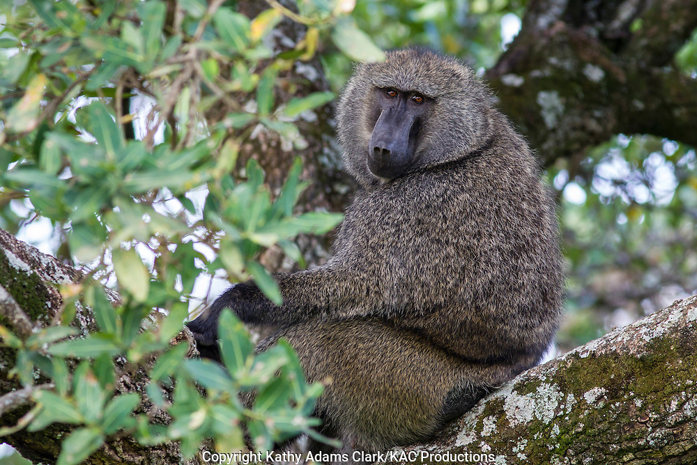 Olive baboon, Anubis baboon, in a tree, Serengeti National Park, Tanzania, Africa.