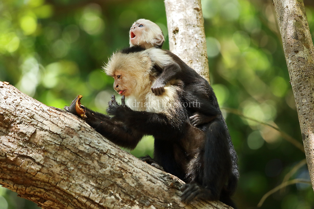Female white-faced capuchin monkey (cebus capucinus) with baby, feeding on fruit of Pink Shower tree (Cassia grandis). Palo Verde National Park, Guanacaste, Costa Rica.