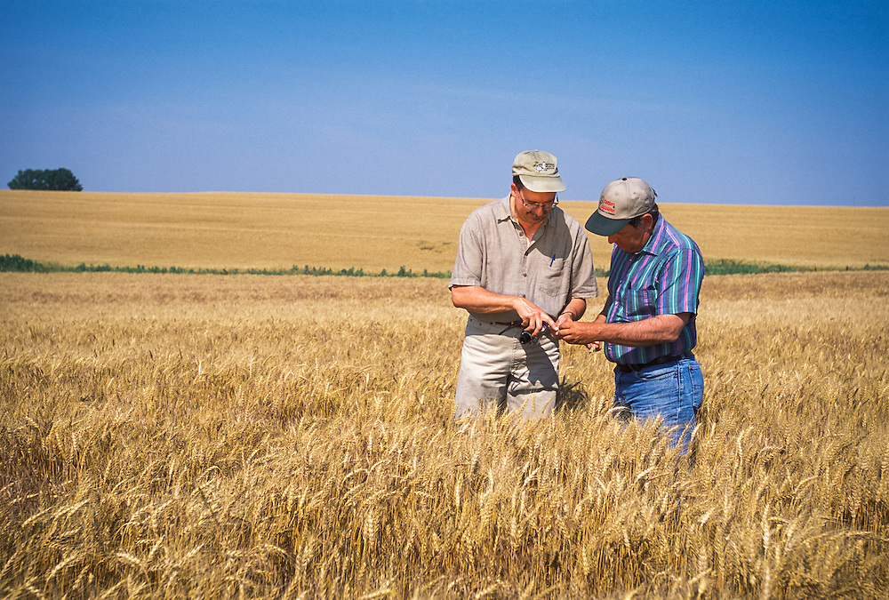 Kansas, USA - Geary County Extension Agent Charles Otto and producer John Kramer examine Kramer's wheat using digital imaging to transmit images to K-State experts