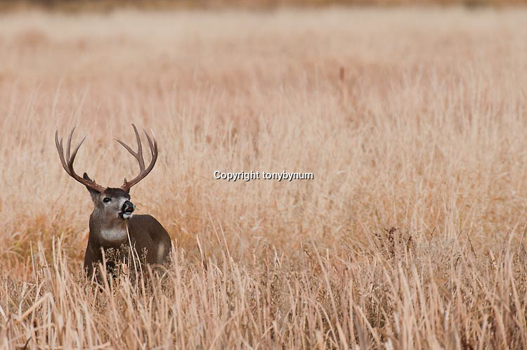 rutting mule deer bucks in natural grass, sage, and open country prairie western usa