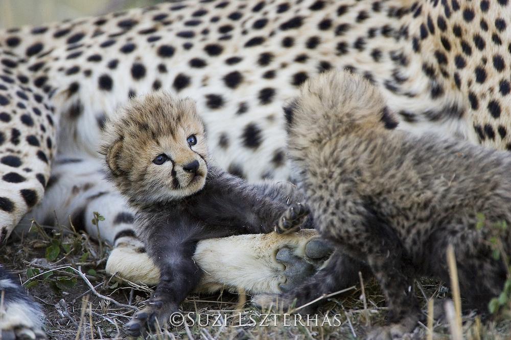 Cheetah<br /> Acinonyx jubatus<br /> 16 day old cub playfully stares at sibling<br /> Maasai Mara Reserve, Kenya