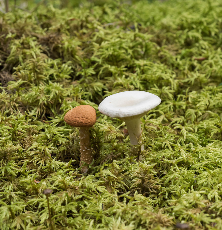 One small brown and one white mushroom (unknown species) with a moss background, summer, Denali National Park, Alaska, USA