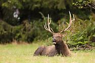 A male Roosevelt elk sits in a pile to hay, Elk Meadow, Orick, CA.