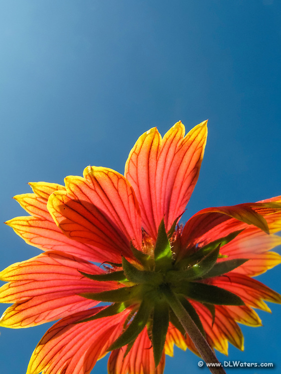 Close-up Gaillardia flower against a deep blue sky. These Gaillardia flowers grow like weeds in the sand on the Outer Banks. They are also known as Indian Blanket Flower, or Firewheel, and are locally known as Jo Bells.