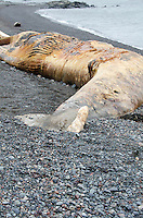 Northern Right Whale killed by a ship strike, Campobello Island, Nova Scotia.