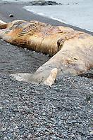 Northern Right Whale killed by a ship strike, Campobello Island, Nova Scotia.