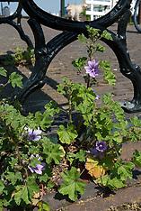 Enkhuizen, bloemen, Noord Holland, Netherlands