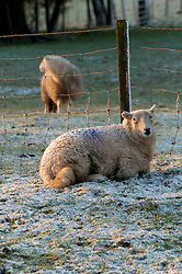© Licensed to London News Pictures. 28/01/2020. Llanfihangel-nant-Melan, Powys, Wales, UK. Sheep wake up to wintry conditions near the small Welsh village of Llanfihangel-nant-Melan in Powys, Wales, UK. Photo credit: Graham M. Lawrence/LNP
