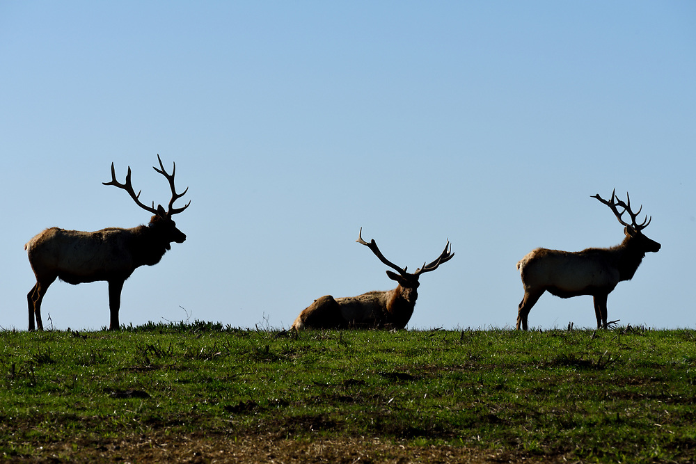 Tule Elks in a meadow in Point Reyes National Seashore, located in Marin County, California, United States on November17'th, 2017. The Tule Elk is a subspecies of Elk found only in California, ranging from the grasslands and marshlands of the Central Valley to the grassy hills on the coast. Photo by Gili Yaari