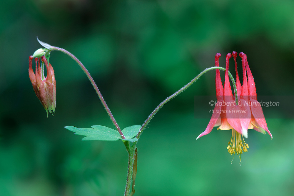 Columbine flowers. Great Smoky Mountains National Park, Tennessee, USA