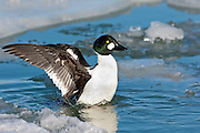 Common Goldeneye, Bucephala clangula, male, Detroit River, Ontario, Canada