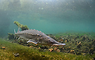 Atlantic Sturgeon, Underwater