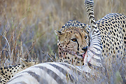 Cheetah<br /> Acinonyx jubatus<br /> Adult male cheetah at Plains Zebra kill<br /> Lewa Conservancy