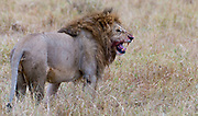 Big male lion sensing the environments in Maasai Mara, Kenya.