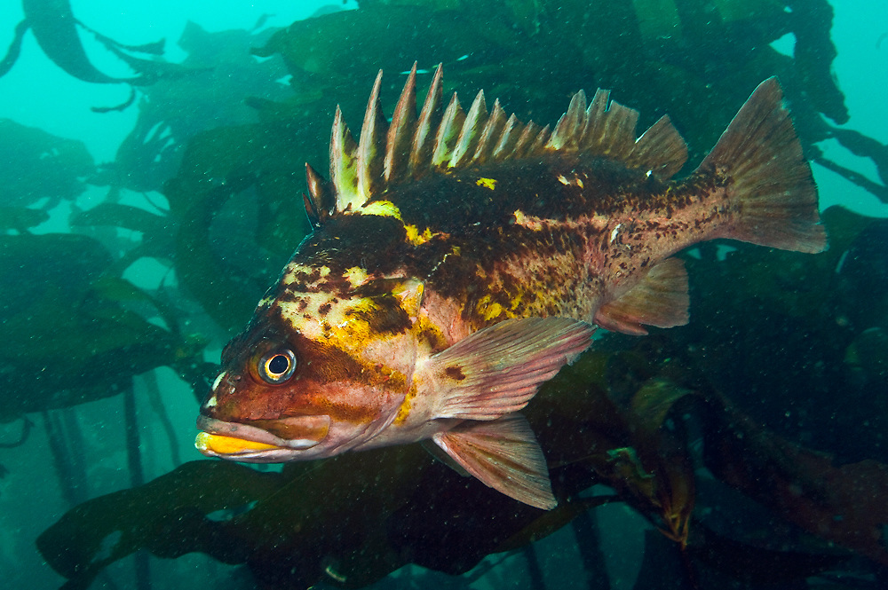 A Copper Rockfish, Sebastes caurinus, hides among the kep of Browning Passage in Vancouver Island, British Columbia, Canada