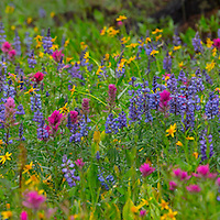 Wildflowers, Beehive Basin, Windy Pass, Gallatin Range, Madison Range, Montana