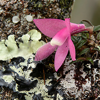 A deceptive beauty: this tiny epiphytic orchid (Dendrobium cuthbertsonii), which bears flowers that last for up to nine months and are larger than the entire plant itself, offers no nectar reward for visiting pollinators. However, it appears remarkably similar in appearance to nectar-rich Rhododendrons which have flowers the same color and size and grow nearby.