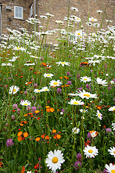 Ox eye daisies with Red Clover and Orange Hawkweed (Fox and Cubs).  Leucanthemum vulgare, Trifolium pratense, Hieracium aurantiacum