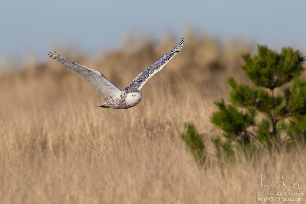 A young snowy owl (Nyctea scandiaca) flies over an open area on Damon Point in Ocean Shores, Washington. Snowy owls, which spend the summer in the northern circumpolar region north of 60 degrees latitude, have a typical winter range that includes Alaska, Canada and northern Eurasia. Every several years, for reasons still unexplained, the snowy owls migrate much farther south in an event known as an irruption. During one irruption, a snowy owl was found as far south as the Caribbean. During the 2011-2012 irruption, Ocean Shores on the Washington coast was the winter home for an especially large number of snowy owls. Snowy owls tend to prefer coastal and plains areas, which most resemble the open tundra that serves as their typical home. The owl shown here is a young bird; snowy owls become almost entirely white as they age, though females retain some of the darker coloration.