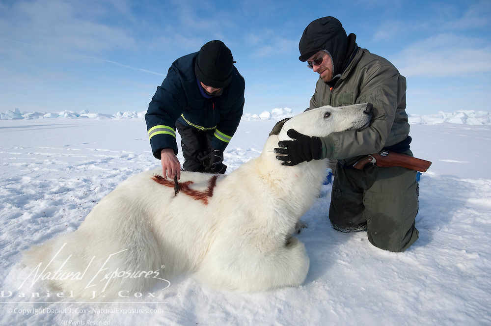 Geoff York, USGS biologist, prepares a radio collar while Katrina Knott, research assistant, paints an ID number on the back of a polar bear. The ID number is to make it easy to see from the air that the bear was captured already.