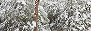 67395-04413 Panoramic of trees in winter, Babcock State Park, WV