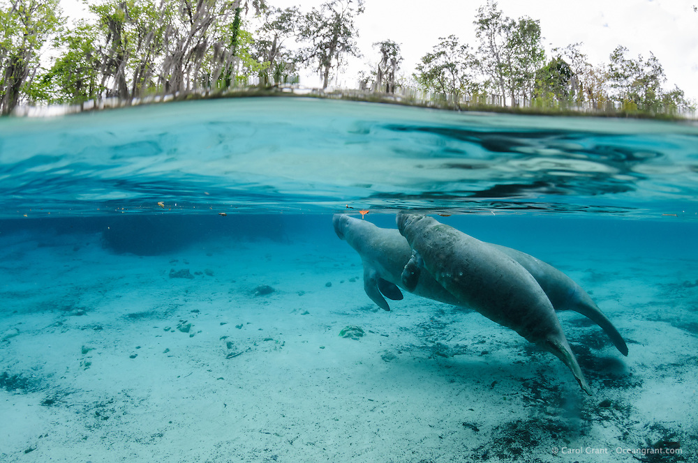 Florida manatee, Trichechus manatus latirostris, a subspecies of the West Indian manatee, endangered. A mother and calf surface for a breath on a cold winter day. They warm themselves in the natural freshwater springs. The calf appears to have some sort of sores, possibly from cold stress or a virus. Horizontal orientation split image with blue water. Three Sisters Springs, Crystal River National Wildlife Refuge, Kings Bay, Crystal River, Citrus County, Florida USA.
