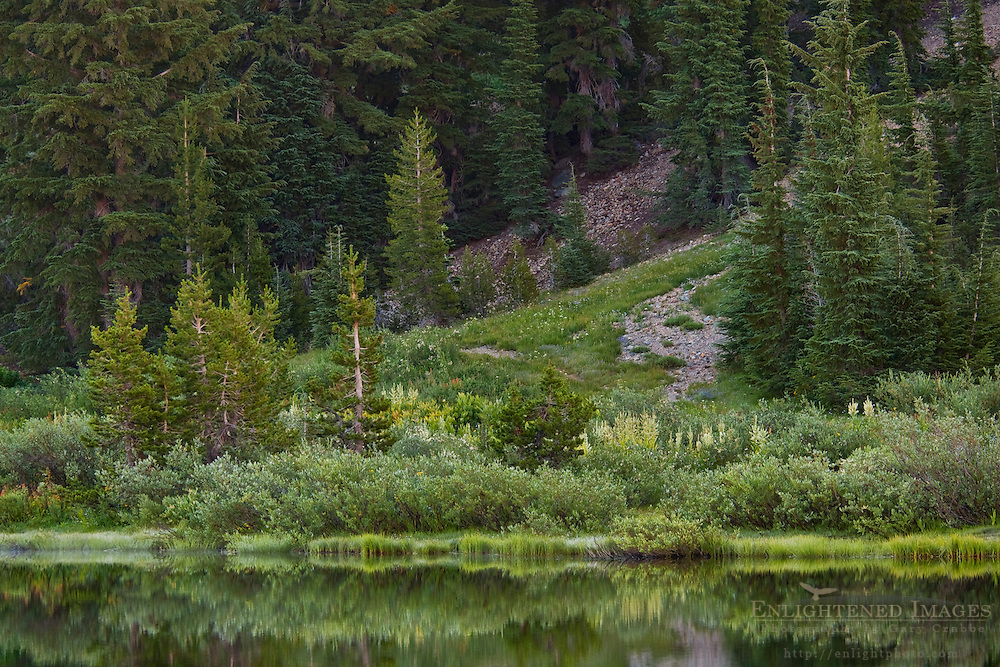 Trees along the shore of Highland Lake, Stanislaus National Forest. Alpine County, California