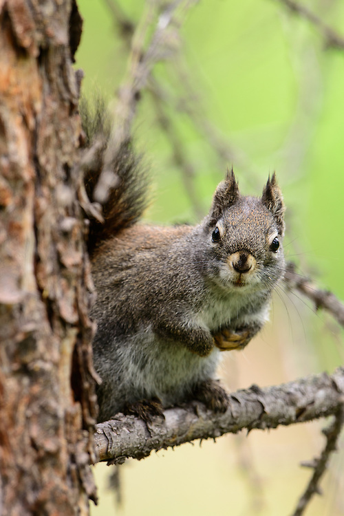 Red Squirrel, Missoula County, Montana