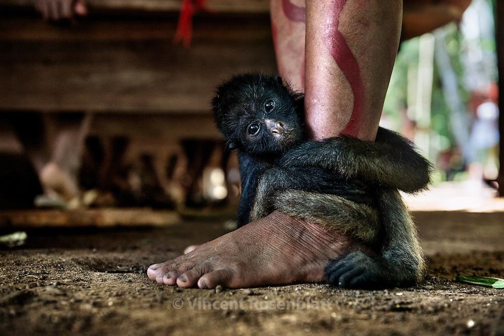 Paxo is a baby Spider Monkey adopted by the Yanomami, after their hunters killed his mother. For now, he´s the mascot of the Watoriki village.This specy is an important food source in the rainforest due to their large size when adults.