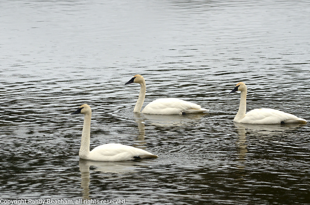 Three trumpeter swans on the Yaak River in late winter. Yaak Valley in the Purcell Mountains, northwest Montana.