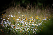 A shock of wild daisies stand out against a filed of wheat