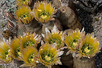 Texas Rainbow Cactus (Echinocereus dasyacanthus) at Big Bend Ranch State Park, Texas
