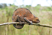 Madagascar, Ankify Peninsula Chamaeleon clings to a branch