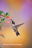 01162-08909 Ruby-throated Hummingbird (Archilochus colubris) male on Cigar Plant (Cuphea ignea) Shelby Co.  IL