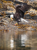A bald eagle, Haliaeetus leucocephalus, eating a fish along the shore in Geographic Harbor, Katmai National Park, Alaska.