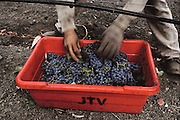"Napa Valley, California. Hand harvesting of Cabernet Sauvignon grapes, which will be made into red wine.  Field worker picks leaves out of the grapes for a ""clean pick"". Johnson Turnbull Winery."