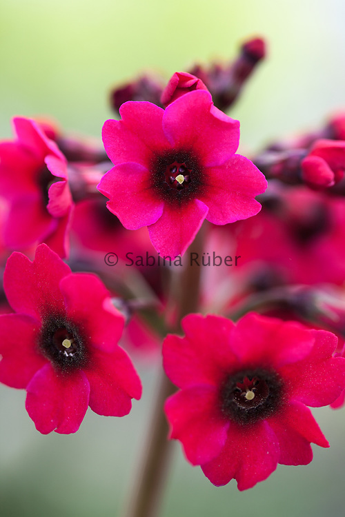 Primula japonica 'Miller's Crimson' - Japanese primrose
