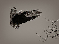 An eagle prepares to land on a small branch. Haines, Alaska.