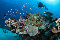 Reef Scenic with Diver, Hard Corals, Reef fishes<br /> <br /> shot in Indonesia