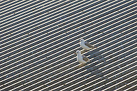 Hartlaubs Gulls perched on the roof of a fish-processing plant, Lamberts Bay, Western Cape, South Africa