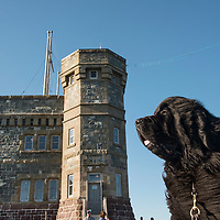 Newfoundland dog at Signal Hill, St. John's, Newfoundland